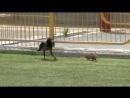 Ворона и крыса устроили смертельную схватку на стадионе