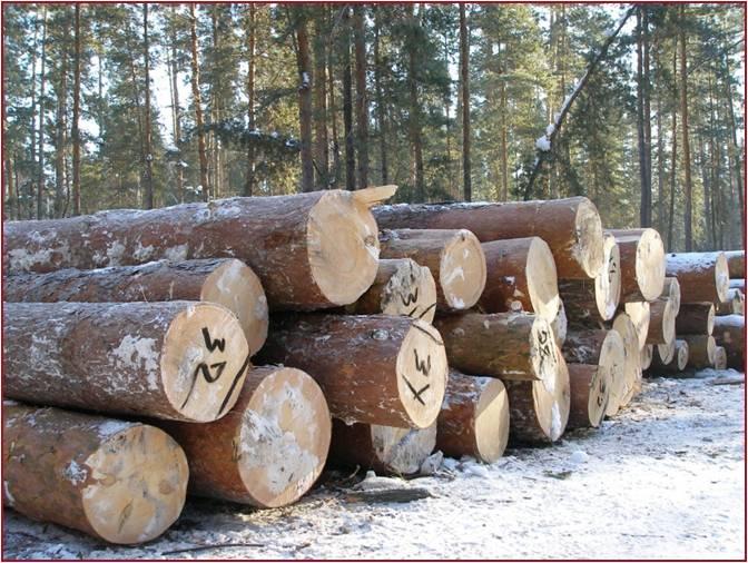 Срубленные деревья в Бузулукском бору