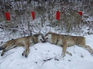 Облавная охота на волка. Охота на волка с флажками