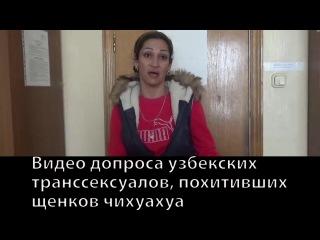 Опубликовано видео допроса узбекских транссексуалов, похитивших щенков чихуахуа