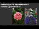 Посадка семян и пикировка лобелии бальзамина пеларгонии и других однолетников
