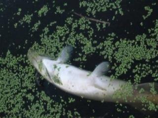 Экологическая катастрофа: в реке Ягорбе гибнет рыба