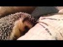 Смешные ёжики зевают и спят.