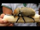 Гигантские насекомые. Самые большие и страшные жуки в мире. Документальный фильм 01.02.2017