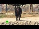 Курящая шимпанзе стала хитом зоопарка в Северной Корее