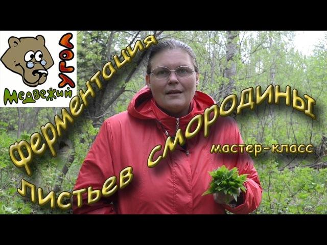 ФЕРМЕНТАЦИЯ ЛИСТЬЕВ СМОРОДИНЫ - мастер класс