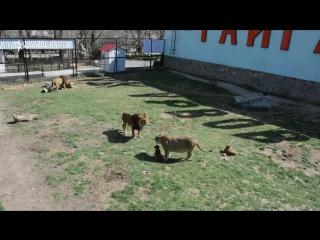 Львиный прайд в крымском сафари-парке