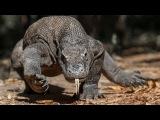 Вараны – драконы 21 века. Древние хищники, крупнейшие ящерицы на планете. Nat geo wild...