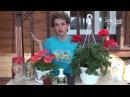 Как выращивать комнатную герань. Сайт Садовый мир