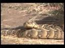 Сервал охотится на ядовитую змею Serval vs Poisonous Snake