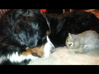 Squirrel hides nuts in a Bernese Mountain dogs fur