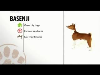 Basenji   Dogs 101   Animal Planet