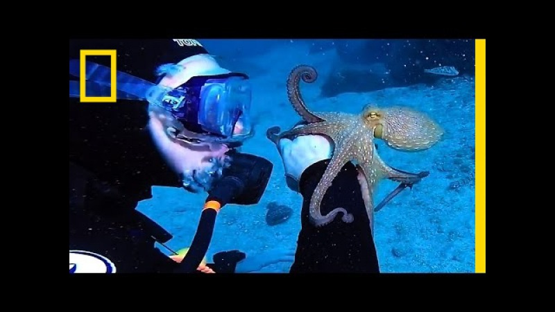 Cute Octopus Latches Onto Divers Arm | National Geographic