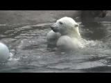 Polar bear Nora plays ball