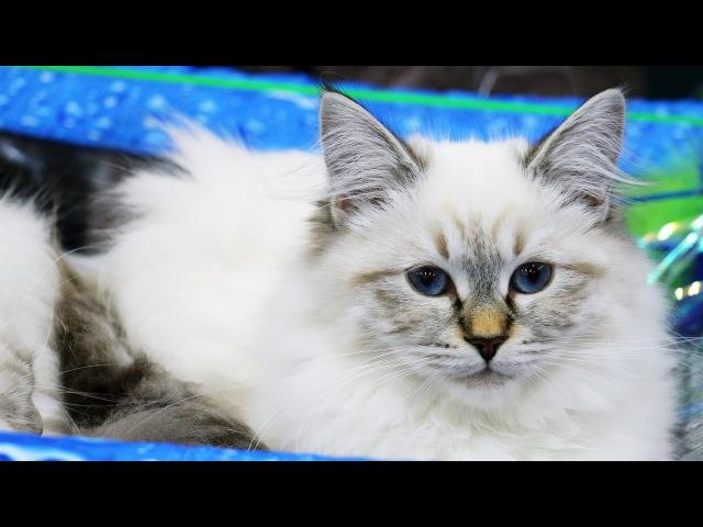 Лучшие породистые коты и кошки России. Выставка кошек 7 Победители ДШ-ПДШ шоу