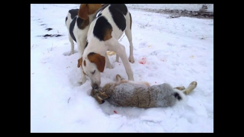 Охота с гончими по белой тропе