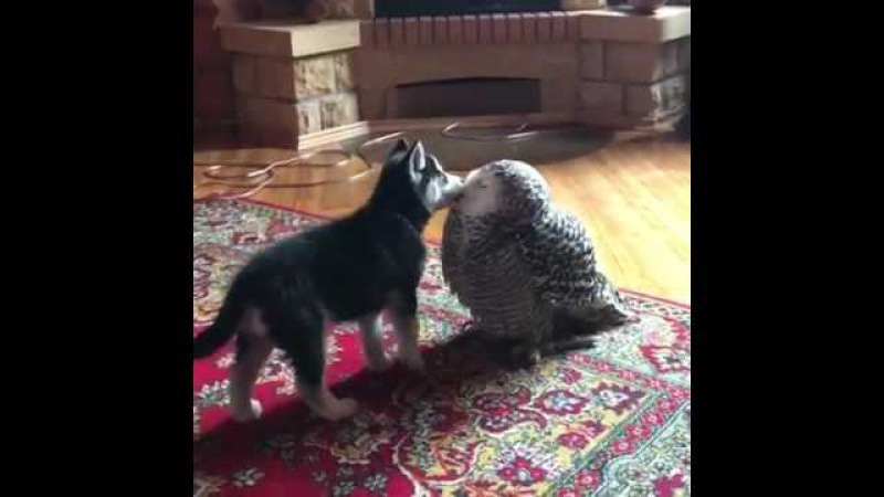 Husky puppy and an owl