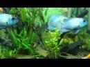 Наннакара неоновая Nannacara neon blue hybrid содержание