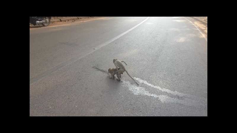 Wow Lovely Monkey Doing What on The Road.
