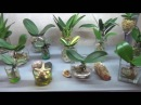 Орхидеи в воде Гибель или успешная реанимация ЭКСПЕРИМЕНТ НЕ ПОВТОРЯТЬ