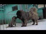Край Черноземья Верона   в ожидании щенков