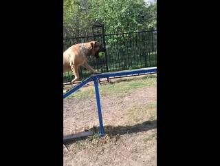 Аланская собака в москве !