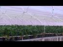 Новые технологии Украинская клубника большая ферма