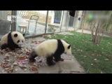 Panda banda make big troubles to zoo cleaner funny bears Панды шалят с уборщицей