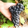 Северный виноград/лилии в С-Петербурге и Москве