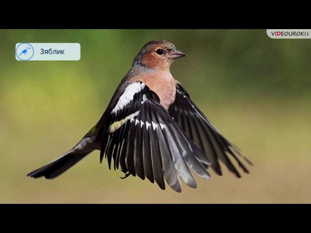 Видеоурок «Перелётные птицы»