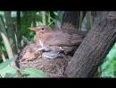 Чёрный дрозд на гнезде