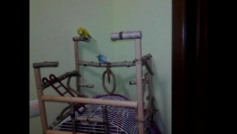 Папужки випробовують новий стенд😉
