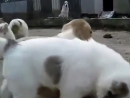 Жесткие собачьи бои. -)