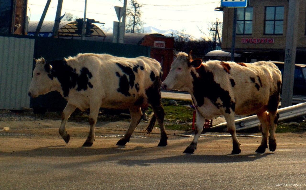 Рейд по отлову крупного рогатого скота прошел в Зеленчукской