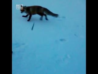 В Бурзянском районе лиса украла у рыбаков удочку