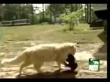 Cat Kidnaps Puppies