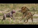 KRAL KİM PİTBULL mu ASLAN mı ►► Sizce Hangisi Daha Güçlü Dog and Lion