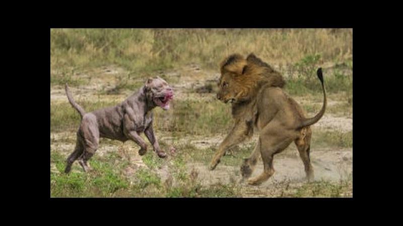 KRAL KİM PİTBULL mu ASLAN mı ►► Sizce Hangisi Daha Güçlü - Dog and Lion