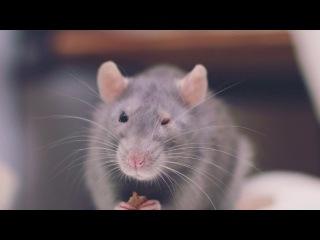 Наша крыса Варежка.