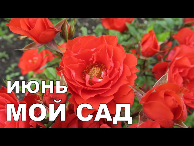 Алёнин сад в ИЮНЕ 2016 Alena's garden in JUNE 2016 Allotment diary
