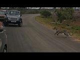 Leopard vs Porcupine. Porcupine Wins. Kruger National Park.