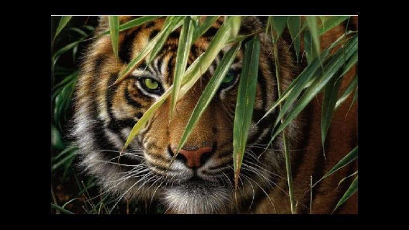Дикие животные. Хищники. Месть тигра. Документальный фильм National Geographic.
