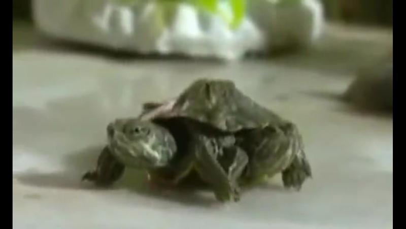 Двух головая, шестиногая черепаха