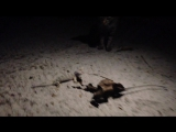 Вечерний блокбастер с островов Камбоджи с участием пантер, метлы и Геккона Токи
