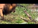Leão Intimida Crocodilo HD