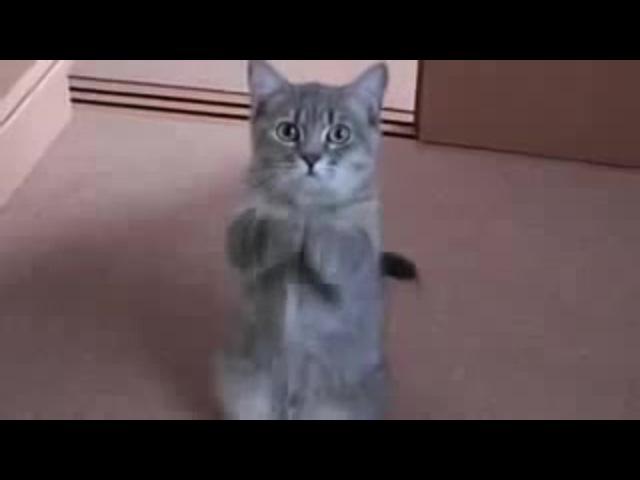 Nashid Kitten