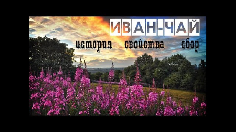 Иван-чай/история/свойства/сбор/ферментация / Blooming Sally