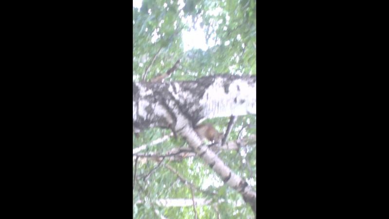 Белки скачут по Челябинску улица Ворошилова