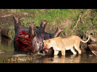 20 СУМАСШЕДШИХ БИТВ ЖИВОТНЫХ СНЯТЫХ НА КАМЕРУ Лев,Буйвол,Крокодил,Слон,Медведь,Корова,Баран,Против
