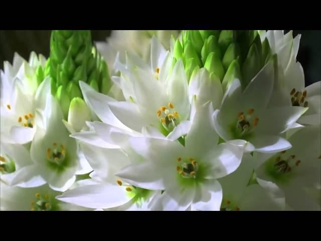 Как распускаются цветы Очень красиво!